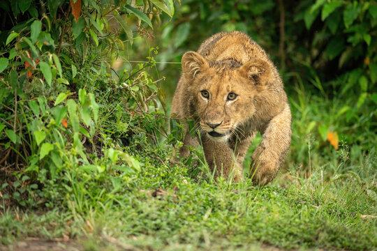 Lion cub creeps past bush lifting paw