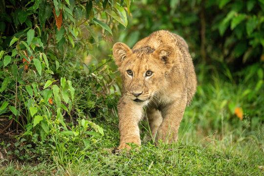 Lion cub creeps past bush staring ahead