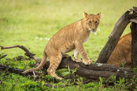 Lion cub climbs on log in grassland