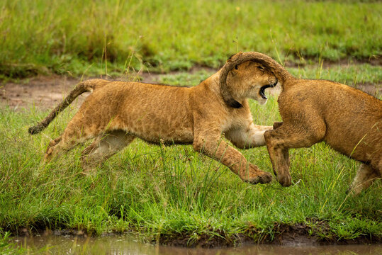 Lion cub chases another past muddy puddle