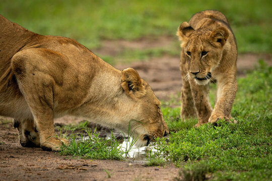 Lion cub approaching mother drinking from puddle