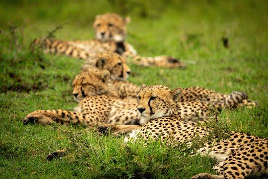 Line of cheetahs lying on short grass