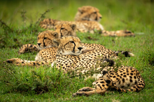 Line of cheetahs lying in short grass