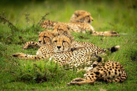 Line of cheetahs lie on short grass