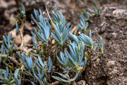 View of curio repens, blue chalksticks, succulent plant in the home garden