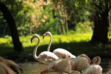 spacerujące dwa flamingi obok śpiących flamingów