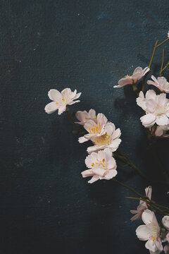 Light pink cherry blossom on dark blue surface