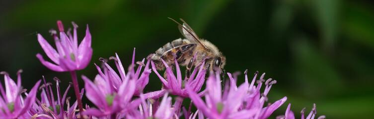 Obraz pszczółka na różowych kwiatkach - fototapety do salonu