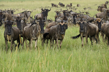 Migrating wildebeests, Masai Mara Game Reserve, Kenya Wall mural