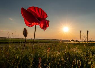 Fototapeta czerwony polny mak na tle słonecznego nieba obraz