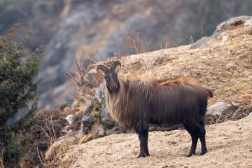 Fototapeta Himalayan Tahr or Mountain Goat obraz
