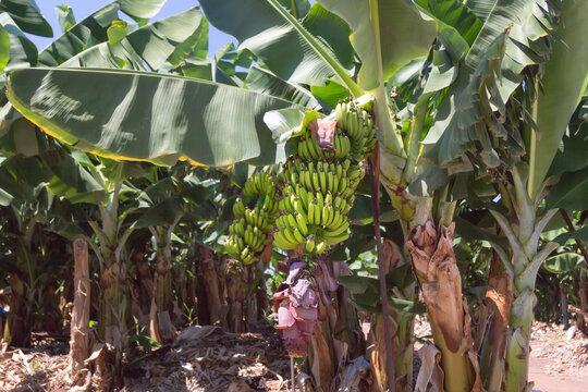 Banana tree with a bunch of bananas. Cyprus