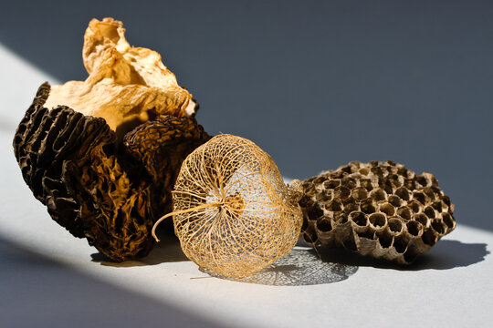 Still life with dry light morchella, dry flower and wasp nest