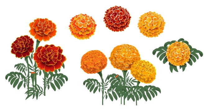 Marigold flowers blossoms, leaves and buds. Red and orange tagetes or cempasuchil blooming flowers, Mexican Dia de los Muertos, Day of Dead holiday and Indian Diwali festival vector floral decorations