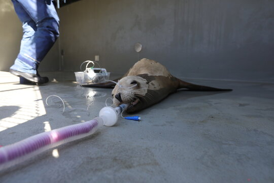 A sedated California sea lion suspected of having cancer awaits an ultrasound at the Marine Mammal Center in Sausalito