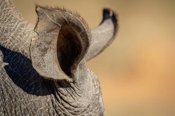 Close up of a White rhino ear.