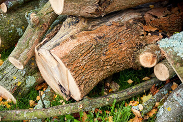 Fototapeta nature, wood and environment concept - trunks of felled trees or logs outdoors in autumn obraz