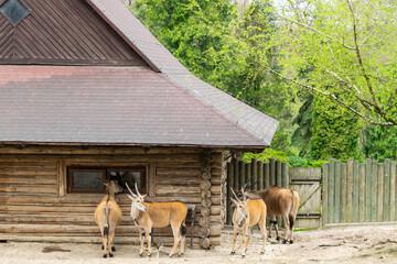 Antylopy eland w krakowskim ogrodzie zoologicznym
