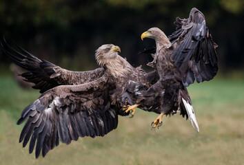 Haliaeetus albicilla, Bielik, White-tailed eagle