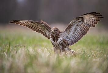 Buteo buteo Myszołów zwyczajny Common buzzard
