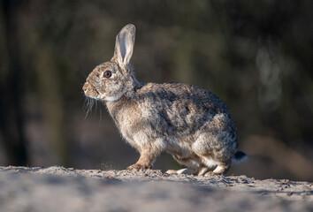 Oryctolagus cuniculus Królik europejski European rabbit