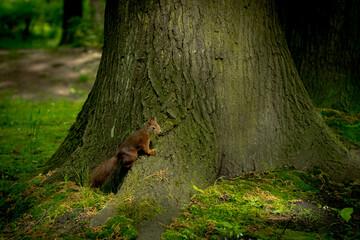 Obraz Wiewiórka na pniu drzewa  - fototapety do salonu