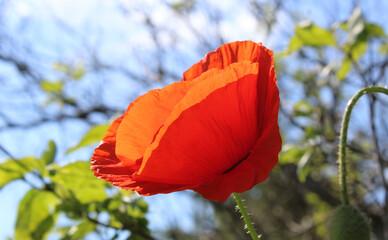 Obraz Czerwony kwitnący mak rozświetlony słońcem - fototapety do salonu