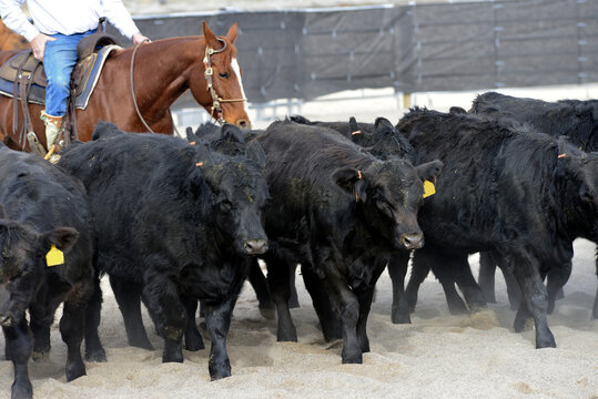 Rural Activity: rancher on horseback moves reluctant steers to a new area.
