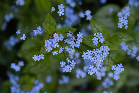 Little blue forget-me-not flowers in a spring meadow with shallow depth of field. Green blurred background with leaves