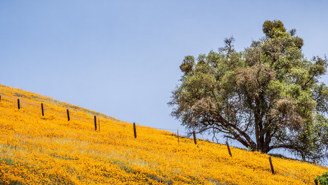 California Poppies wildflowers covering a hill in the Sierra Mountains foothills in the springtime; California
