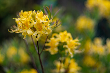 Fototapeta kwitnące żółte azalie obraz