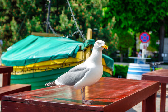 Sea gull seating on the restaurant table by the sea in Gdynia Orlowo, Poland