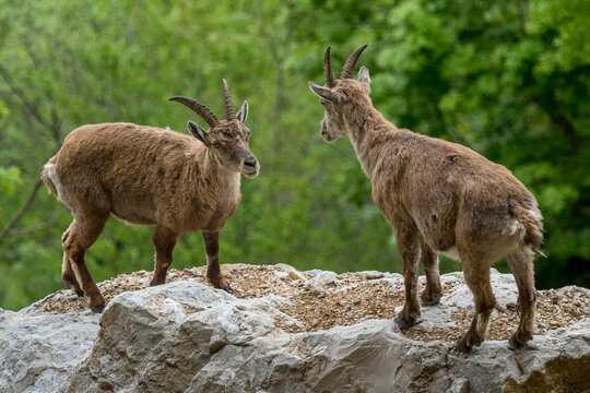 Alpine ibex towers over its rival before the fight