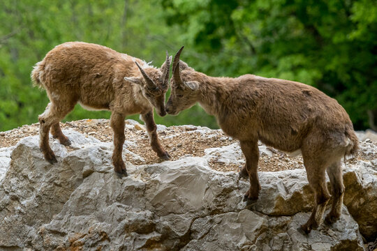 Games in the form of a fight between two ibexes