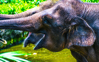 The Asian elephant, also known as the Asiatic elephant, is the only living species of the genus Elephas and is distributed throughout the Indian subcontinent and Southeast Asia, from India in the west