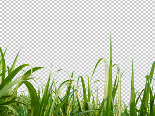 sugar cane leave on transparent picture background