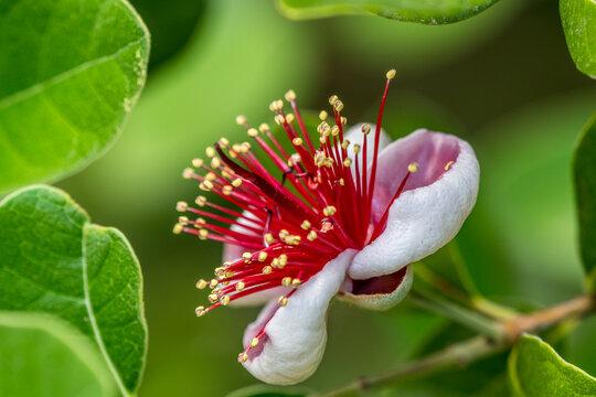 Feijoa flower in a garden in France