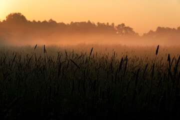 wysokie trawy na pierwszym planie z mgłą na drugim