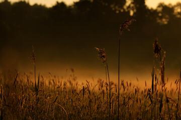 kłosy traw na pierwszym planie z mgłą w tle