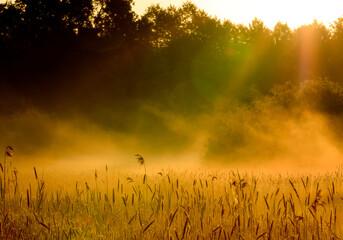 wschód słońca z unoszącymi się mgłami nad trawami i kłosami na pierwszym planie