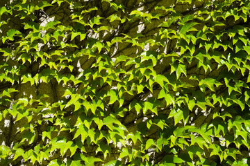 Obraz Ściana obrośnięta liśćmi - fototapety do salonu