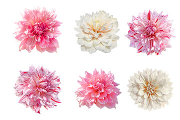 set of dahlia flowers isolated on white