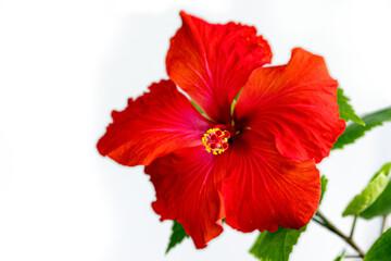 Obraz hibiskus kwiat - fototapety do salonu