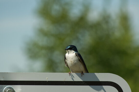 A Tree Swallow on a Sign