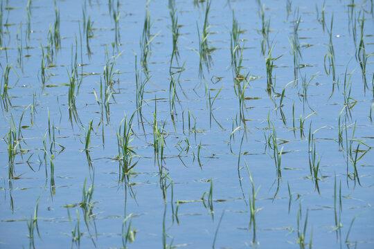 水田の稲(稲の苗・田植え)