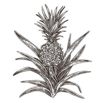 Pineapple bush. Sketch. Engraving style. Vector illustration.