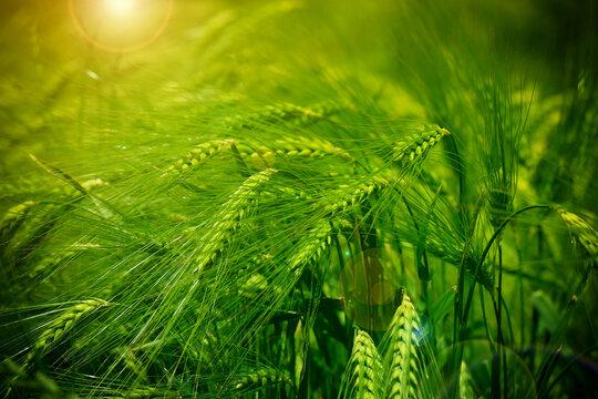 barley crop field close up. beautiful field