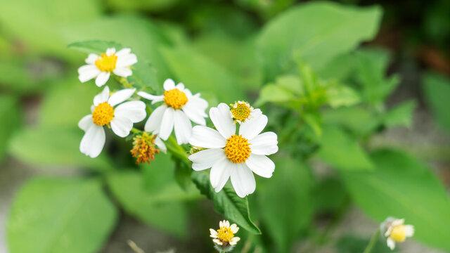 White spanish needle flower in a garden.