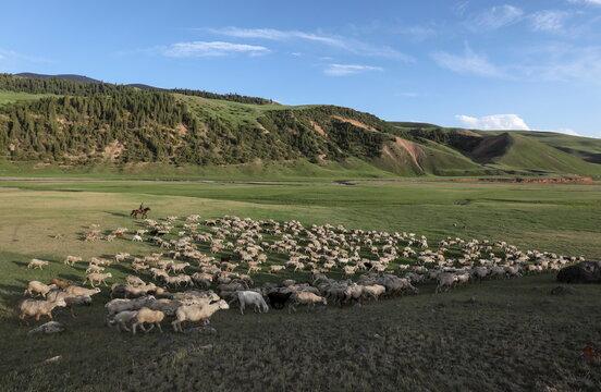 A shepherd guides sheep in Almaty Region