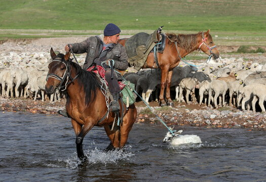 A shepherd guides sheep and goats across a river in Almaty Region